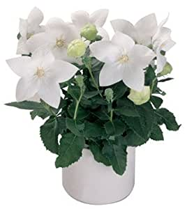 Platycodon (Balloon Flower) Astra White Single 1,000 seeds