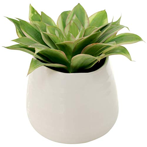White Ceramic Large Potted Real Touch Echeverria Artificial Succulent - 8 X 8 X 6.75 Inches - Marmeda Potted Two Tone Faux Plant - Minimalist Artificial Plant Decor for Home or Office