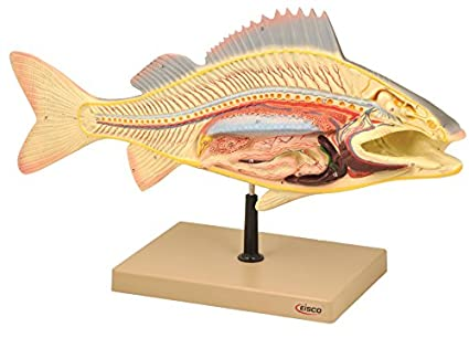 Eisco Labs Fish Dissection Model Perch Fish 195 Inches Long