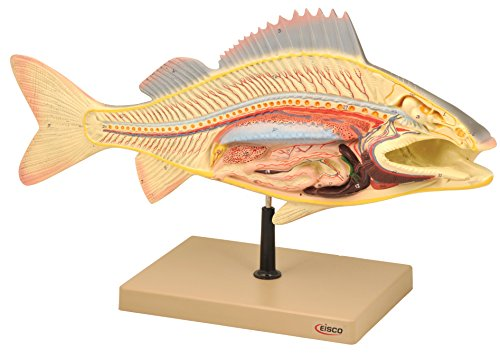 Eisco Labs Fish Dissection Model (Perch); fish 19.5 inches long by EISCO