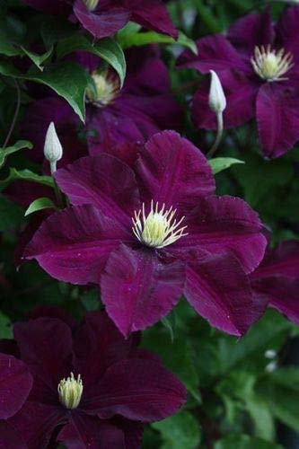 25 Dark Purple Clematis Seeds Large Bloom Climbing Perennial Flower Garden Plant (Best Dark Purple Clematis)