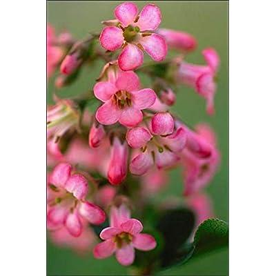 Live Escallonia (Pink) aka Escallonia Exon. 'Fradesii' Plant Fit 5 Gallon Pot : Garden & Outdoor