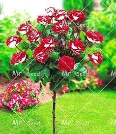 Green Seeds Co. 100pcs / bag Planta de árbol de rosa rara y colorida Planta de flores de jardín Plantas en macetas Bonsai, balcones y patio Planta de flora: 1: Amazon.es: Jardín