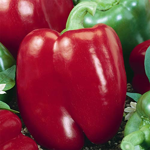 (David's Garden Seeds Pepper Bell Keystone Giant SL1188 (Red) 50 Non-GMO, Open Pollinated Seeds )