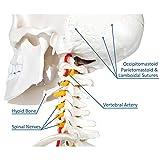 Axis Scientific Human Skeleton Model Anatomy