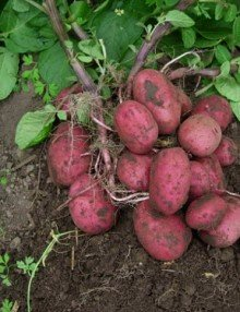 Red potato Seeds