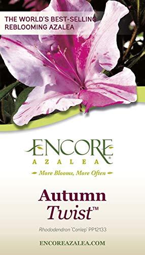 Encore Azalea | 1 Gallon Autumn Twist, Multicolor Re-Blooming Evergreen Shrub by Encore (Image #3)