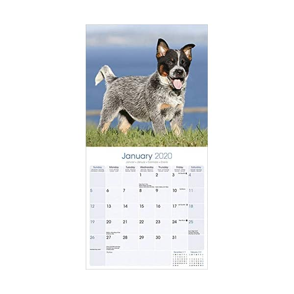 Australian Cattle Dog Calendar - Dog Breed Calendars - 2019 - 2020 Wall Calendars - 16 Month by Avonside (Multilingual Edition) 2