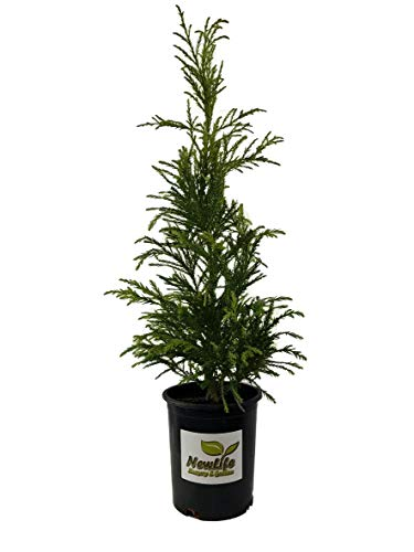 Radicans Cryptomeria Tree ( Japanese Cedar ) - Live Plant  - Trade Gallon Pot