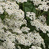 Outsidepride Yarrow White Wildflower - 5000 Seeds