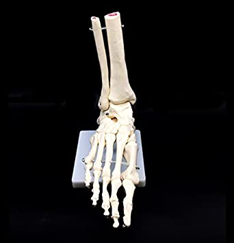 Human Foot Skeleton Model on Base, Foot Bone, Life Size, For Science ...