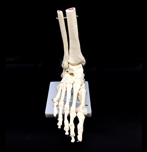 Human Foot Skeleton Model on Base, Foot Bone,Life Size, for Science Classroom Study Display Teaching Medical