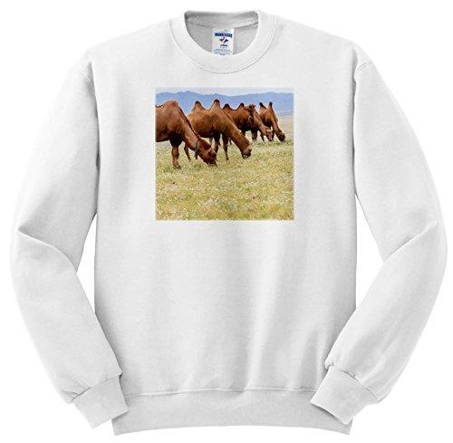 Gobi Desert Camel - 2