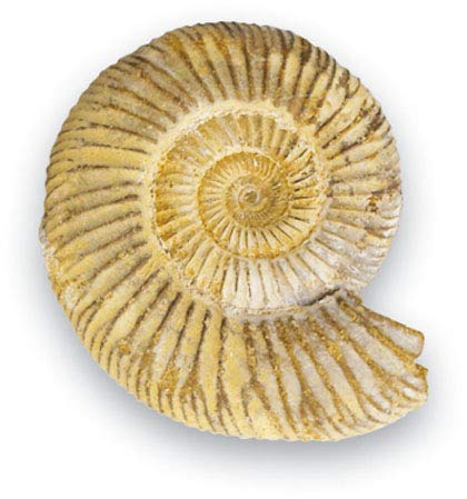 (Real Small Ammonite Fossil - 150 Million Years Old- from Madagascar - Jurassic)