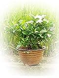 母の日ギフト お花からいい香り 八重咲きのクチナシ 花鉢