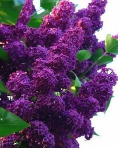purple crepe myrtle - 7
