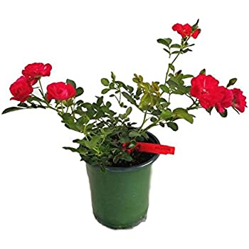 Red Drift Groundcover Rose - Live Plant - Quart Pot