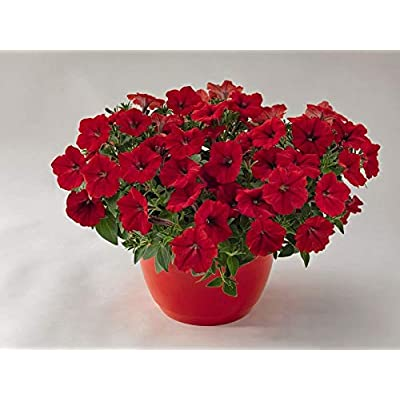 Organic 100 Bulk Petunia Seeds Success Red Petunia Seed Seeds : Garden & Outdoor
