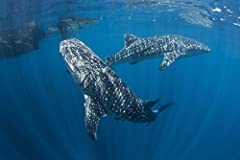Pair of whale sharks swimming around near the surface. is a licensed reproduction that was printed on Premium Heavy Stock Paper which captures all of the vivid colors and details of the original. The overall paper size is 17.00 x 11.30 inches...