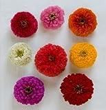 Flower Zinnia Giant Dahlia Flowered Mix D1879A (Multi Color) 100 Seeds by David's Garden Seeds