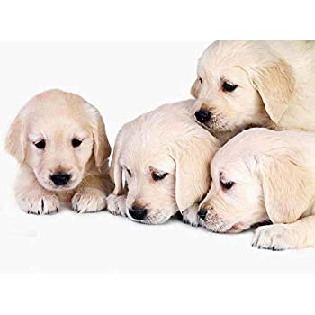Amazon.com: GOLDEN RETRIEVER PUPPIES GLOSSY POSTER PICTURE PHOTO dogs puppy labrador ...