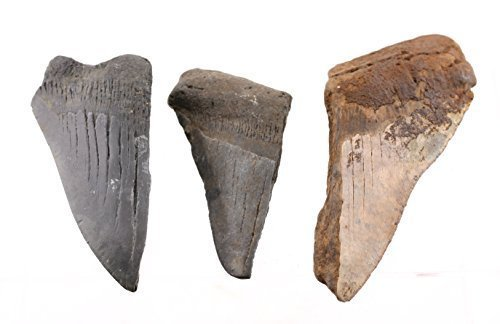 - Megalodon Fossil Shark Teeth - 3 Pieces of XL Size (3.5 to 4.5 Inch) Fragments Plus 2 Small Teeth