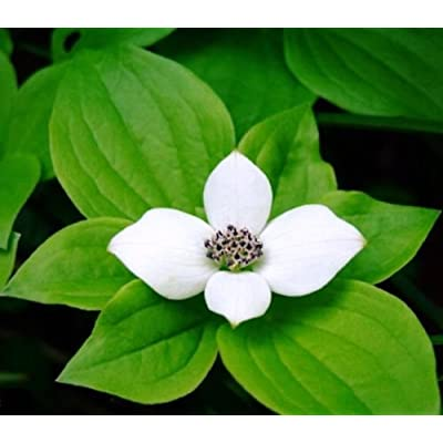 Bunchberry Dogwood .... 20 Seeds : Garden & Outdoor