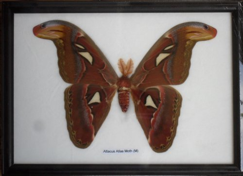 Real Attacus Atlas Moths'M' Butterfly Insect Gift Taxidermy in frame by (Attacus Atlas)
