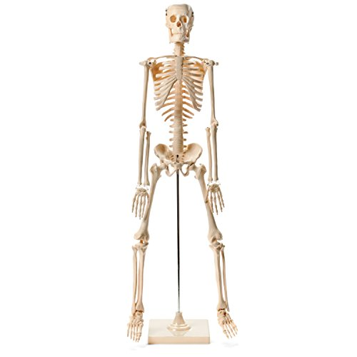Medical Quality Human Skeleton Model - 1/2 Life Sized - 85 cm with Metal Base by Maad