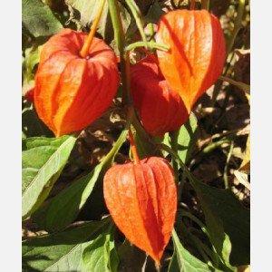 Chinese Lantern Plants - SD0523 Japanese Lantern Seeds, Bladder Cherry Seeds, Lantern Fruit Seeds, 60-Days Money Back Guarantee (40 Seeds)