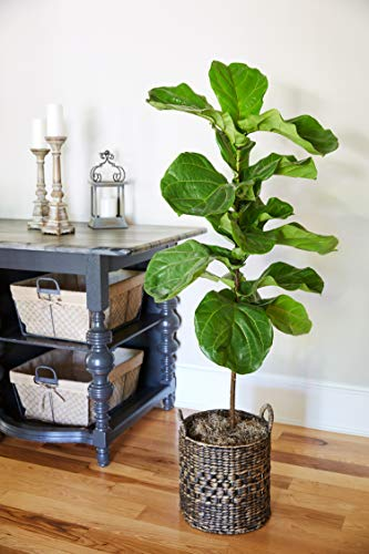 Fiddle Leaf Fig - 2 Trees in 3 Gallon Pots - The Most Popular Indoor Fig Tree- Tall, Live Indoor Fig Trees (2 Trees in 3 Gallon Pots) by Brighter Blooms (Image #2)