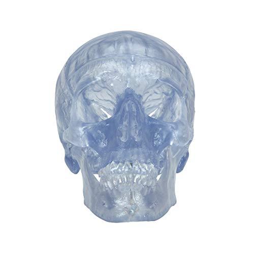 (3B Scientific A20/T Plastic 3 Part Transparent Classic Human Skull Model, 7.9
