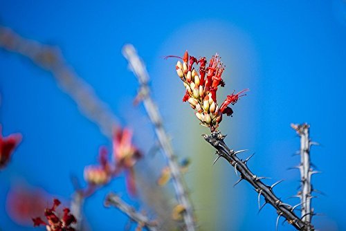(Desert Photo, Red Bloom Flowering Botanical Nature Small Prints up to 11x14)