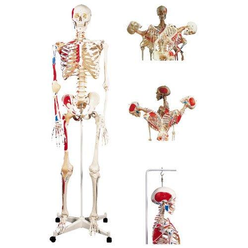 骨格モデル(脊柱可動型)吊り下げ仕様 A13/1 (186cm/8.5kg)   B010AOCB16