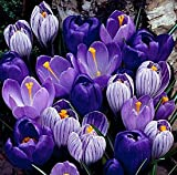 Dutch Crocus Bulbs Blue Moon Mix