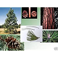 PlenTree Pino Ponderosa, Pinus Ponderosa Rã¡Pido! Â¡Resistente! Ãrbol 10 Semillas