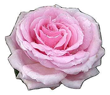 Shop Meeko ROSE LETS danza- Il cumpleaños y regalo de la ...
