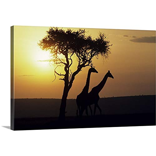 GREATBIGCANVAS Gallery-Wrapped Canvas Entitled Silhouetted Giraffes at Sunset, Africa by 36