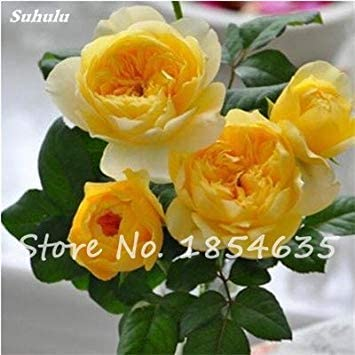 Vistaric Flor Rara Rosa Rosas Semilla Colorida Planta Bonsai