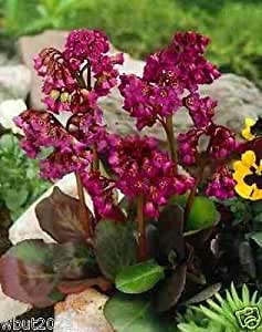 BERGENIA 10 SEEDS-RED-A.K.A. Heart Leaf Bergenia Pig Squeak,Winter hardy to zone 3