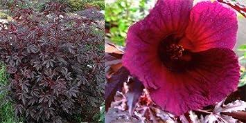 Hibiskus COCCINEUS Blume Rot 10 Samen