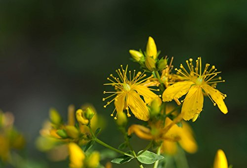 Print on Metal Hypericum Perforatum Saint John's Wort Herbaceous Print 12 x 18. Worry Free Wall Installation - Shadow Mount is Included.