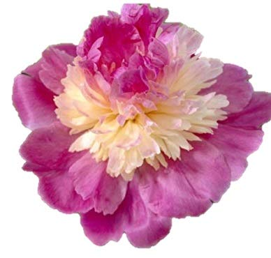 (Gay Paree Peony/Peonies - 3-5 Eyes - Heavy Potted - Perennial - Each 1 Trade Gal by Growers Solution)