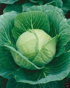 Cabbage Golden Acre Great Heirloom Vegetable 1,000 Seeds