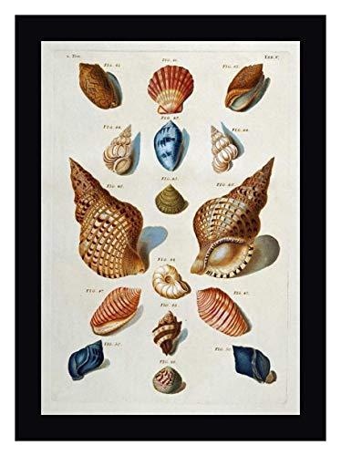 A Selection of Seashells by Franz Michael Regenfuss - 28