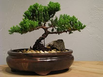Amazon Com 9greenbox Bonsai Juniper Tree Japanese Art Live House Plants For Indoor And Outdoor Garden Dwarf Trees In Container Pot For Home And Office Decor Best Gift For