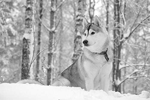 雪の中でかわいいハスキー壁紙-動物の壁紙-#50653 - 白黒の キャンバス ステッカー 印刷 壁紙ポスター はがせるシール式 写真 特大 絵画 壁飾り75cmx50cm