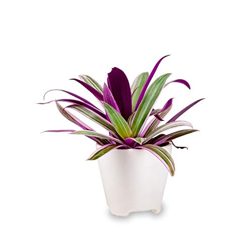 - Rhoeo Tricolor Oyster Plant Live Indoor Houseplant in a 4