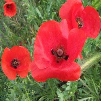 Amazon outsidepride poppy red seed 30000 seeds flowering outsidepride poppy red seed 30000 seeds mightylinksfo