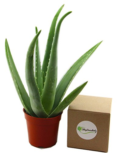 Shop Succulents 4'' Aloe Vera Plant (1) by Shop Succulents